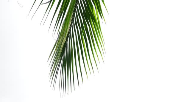 leaf palm, green leaves coconut tree pattern isolated on white background