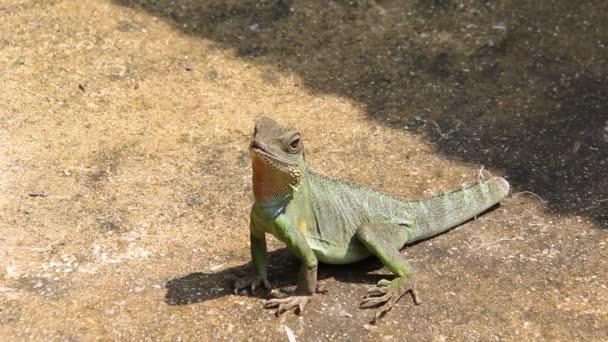 ještěrka zelená na zemi