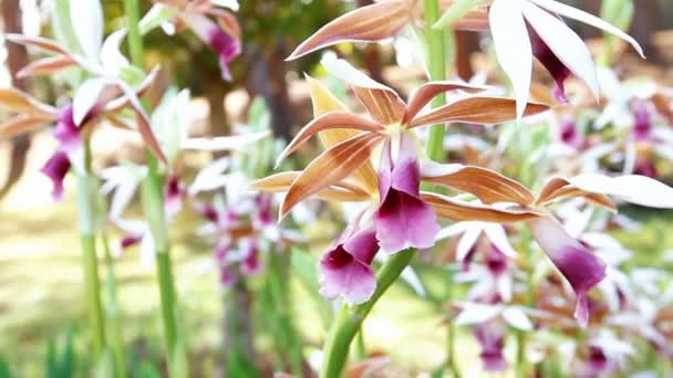 Beautiful Orchid flowers blooming or Phaius tankervilleae Blume