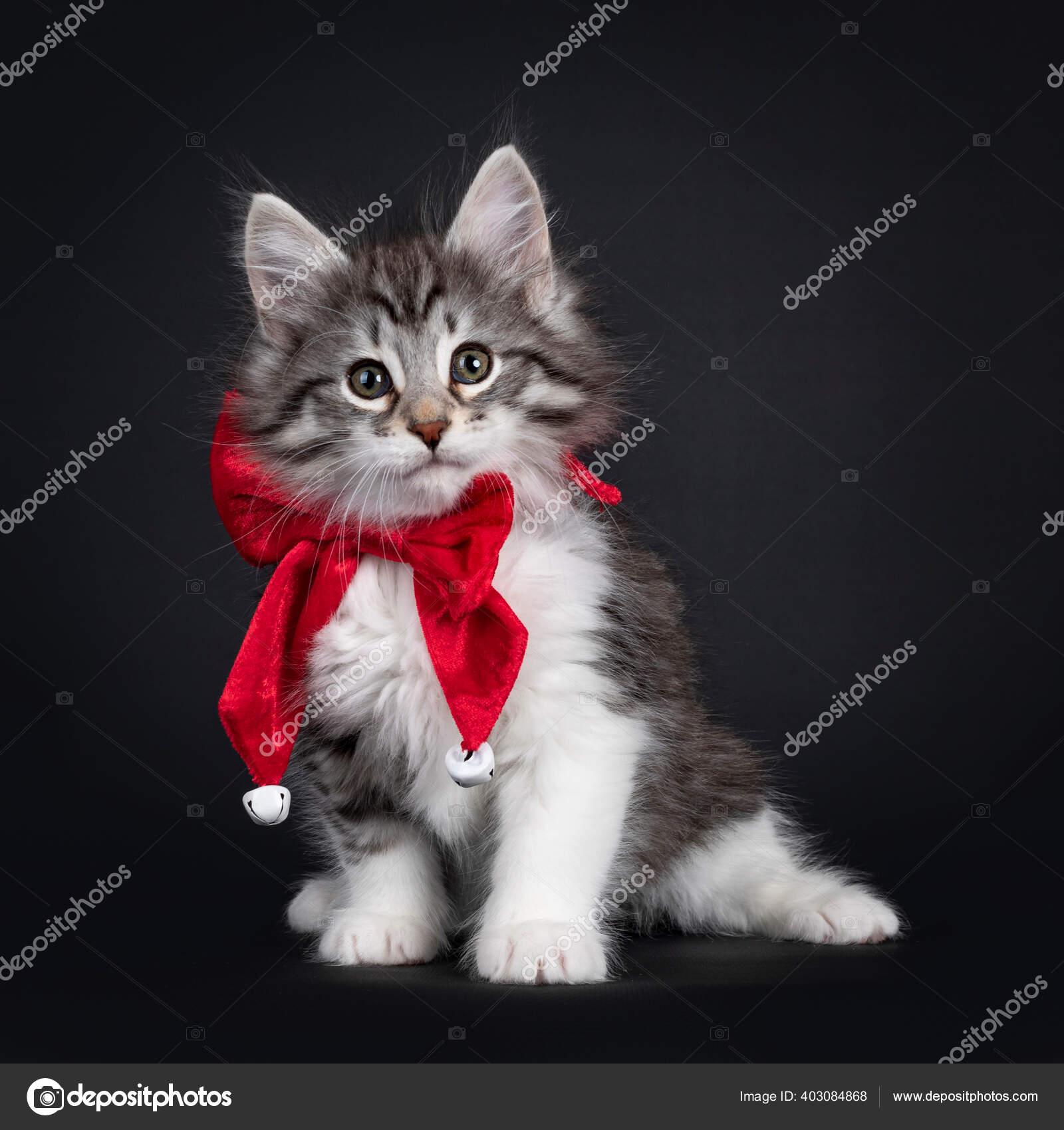 Kucing Hutan Norwegia Kucing Tabby Perak Hitam Menggemaskan Mengenakan Dasi Stok Foto C Nynkevanholten 403084868