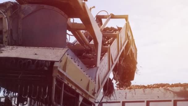 Cukorrépa a mezőn. Önjáró gép cukorrépa tisztítására és rakodására a mező szélén lévő szorítóról egy közúti teherautóra. Ropa!