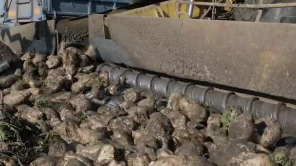 Cukorrépa a mezőn. Önjáró gép cukorrépa tisztítására és rakodására a mező szélén lévő szorítóról egy közúti teherautóra. Ropa!.