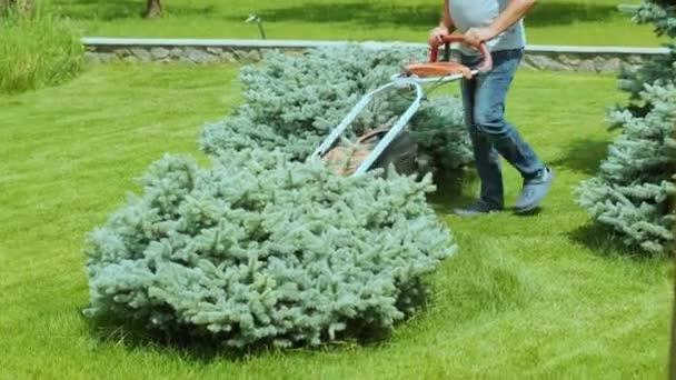 Sekačka seká trávu. Zahradní aktivita. Sekání trávy benzínem poháněnou sekačkou ve slunné zahradě. Zahradník pracuje se sekačkou na zahradě. Sekačka seká zelenou trávu