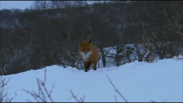 Fox on the snow. Fox, common or red fox (Vulpes vulpes) is a predatory mammal of the dog family. Red fox is a very common character of folklore of different countries