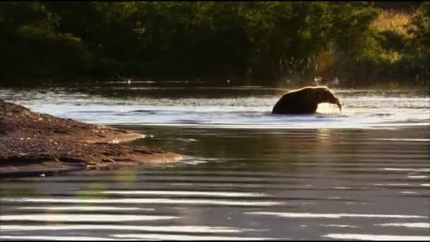 Brown bear, or ordinary bear (Lat. Ursus arctos) is a predatory mammal of the bear family; one of the largest land predators. Bear fishing