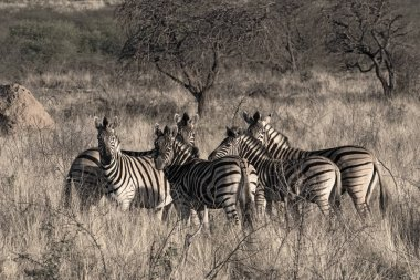 Small herd of zebras at the erongo mountains in Namibia.