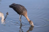 Africké openbill čáp, Anastomus lamelligerus, jíst v Chobe River, Botswana