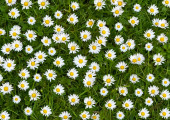 A beautiful close up picture of glorius bouquet of meadow daisies
