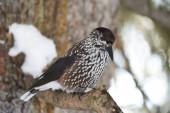 Skvrnitý louskáček také Euroasijský louskáček Nucifraga caryocatactes passerine pták o něco větší než euroasijské jay Švýcarsko Alpy. Kvalitní fotografie