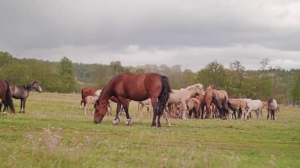 Stádo domácích koní. Obecný plán. Koně pasoucí se na poli.