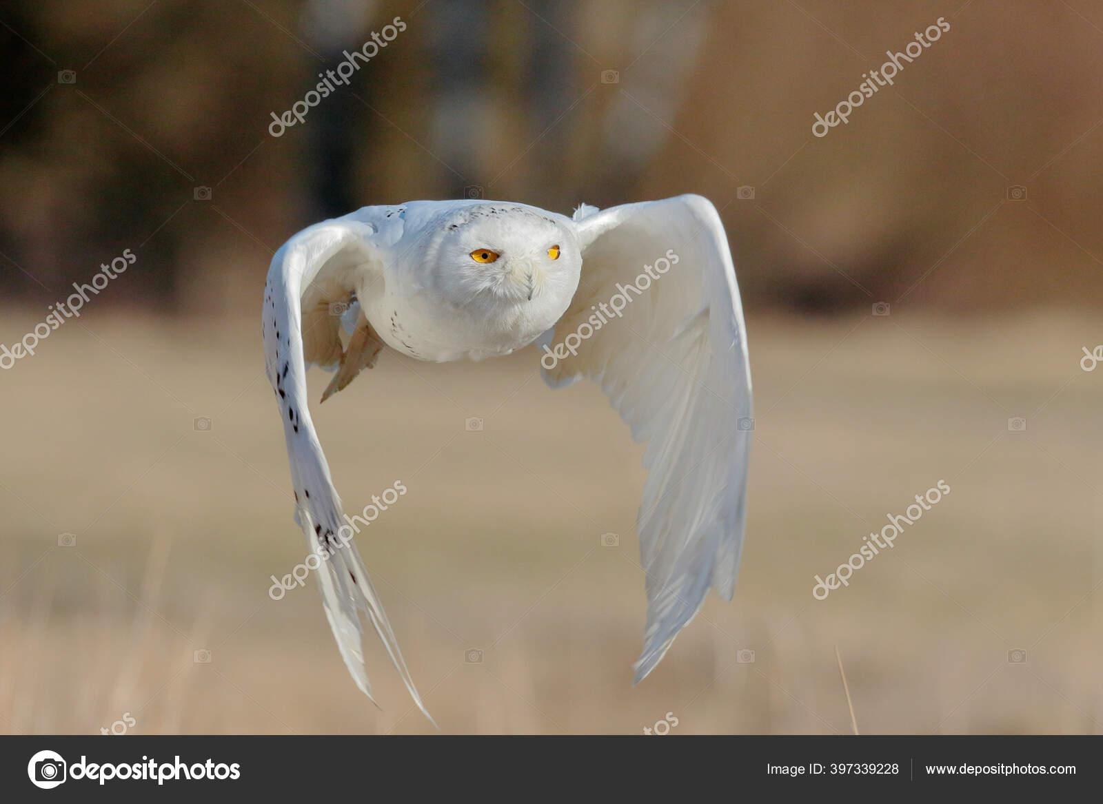 Seekor Burung Hantu Putih Besar Yang Kuat Dengan Mata Kuning Stok Foto C Danieldunca 397339228