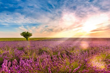 Dusk in a Lavender Field in Valensole in Provence, France