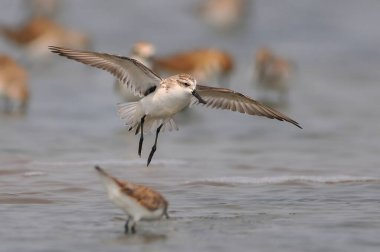 Spoon-billed Sandpiper flying,The most rare and endangered bird
