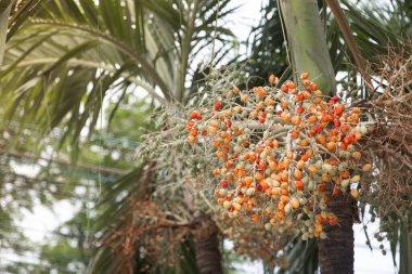 Hippophae rhamnoides known as common sea buckthorn shrub/Blur  background