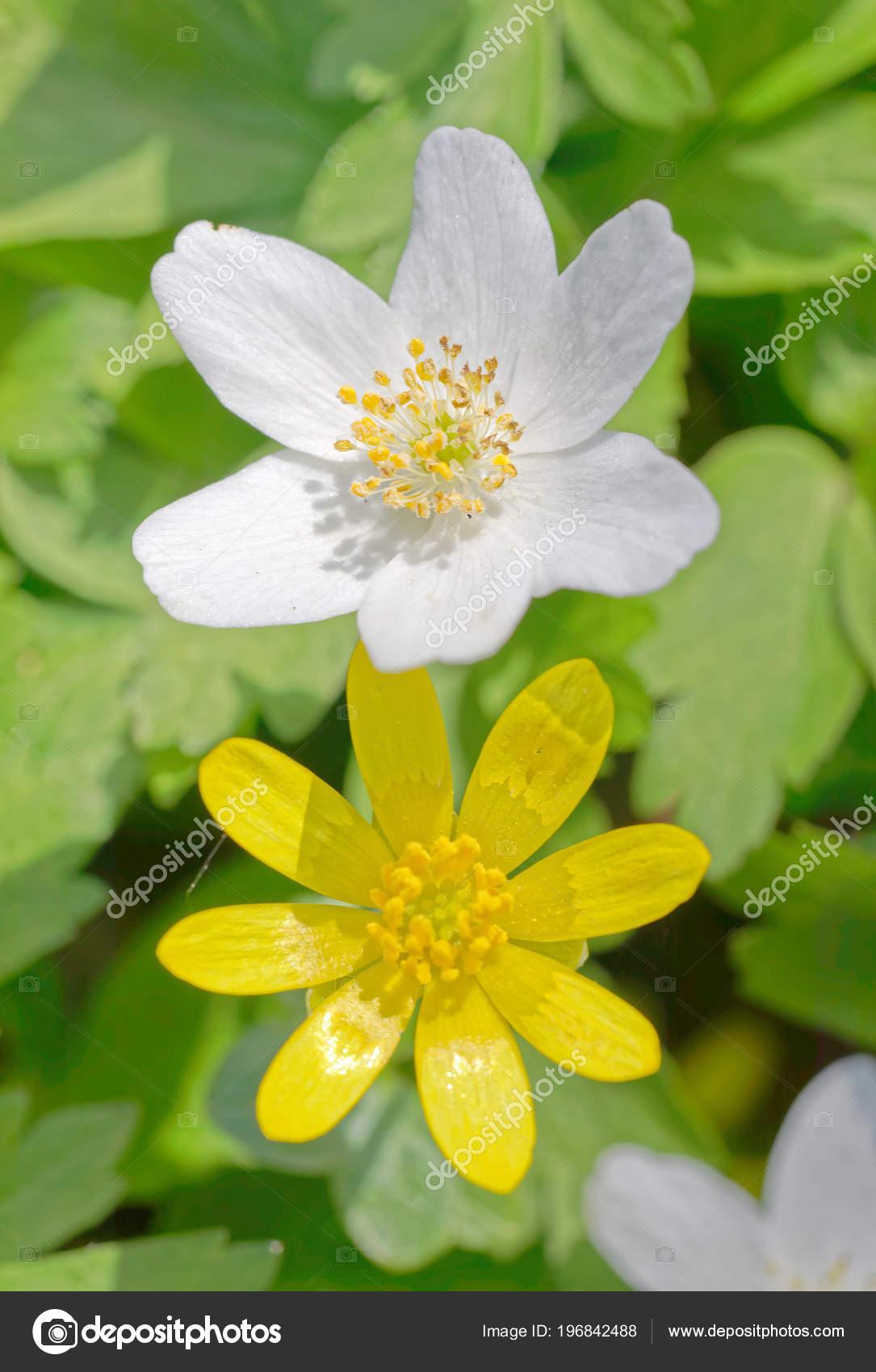 Closeup White Wood Anemone Yellow Lesser Celandine Flower Latin