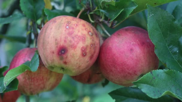 Rotten ripe red Gala apples on branch in the orchard on a sunny day