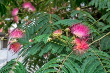 Beautiful blooming fragrant flowers Albicija attract insects and walkers people.