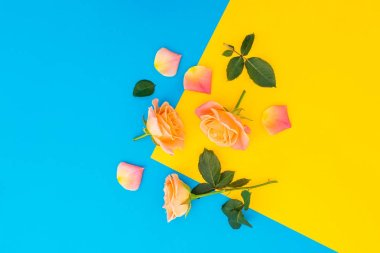Floral pattern of orange roses with leaves isolated on yellow and blue background. Flat lay, top view.
