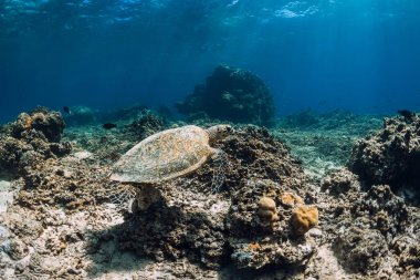 Sea turtle floating over beautiful natural ocean background with corals. Green sea turtle closeup
