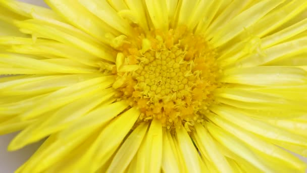 Yellow summer flower rotating. Close up top view.