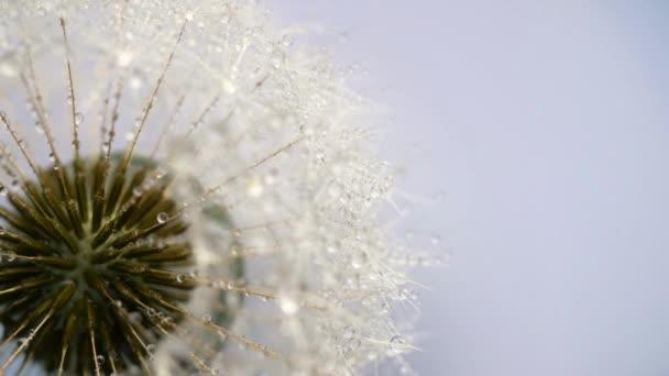 Pitypang vetőmag virág forgatható. 4k felvételek bezárása.