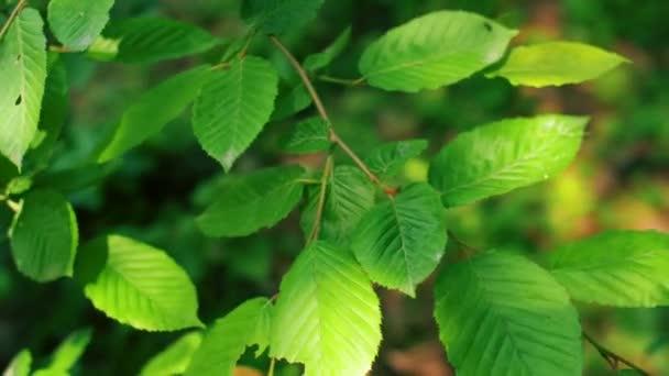 Zelenožlutá větev s zelenými listy. 4k pomalý pohybový záběr.