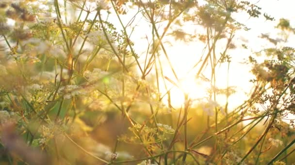 White flower at sunset with golden lights and lens flares. Beautiful nature close up flowers. 4k.