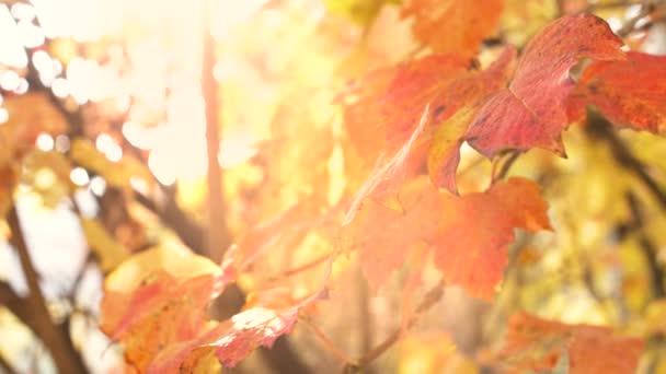 Közelről őszi sárga levelek fák ágak lassított felvételen. 4k természet felvételek.