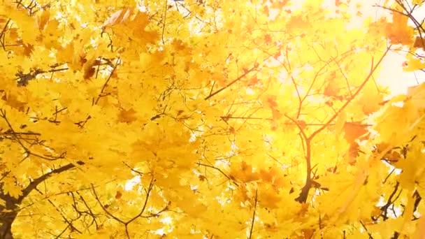 Hezké stromy se žlutým podzimním listím na větvích v lese. 4k zpomalení naature záznam.