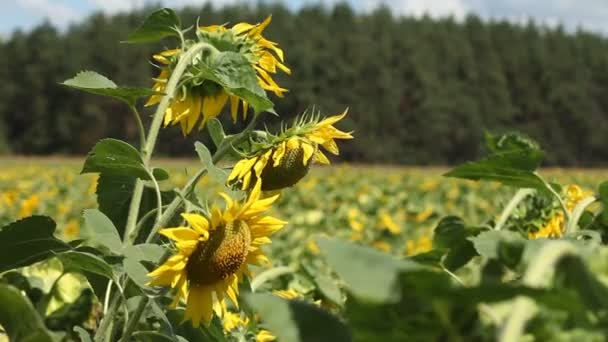 Sunflowers Plantation Sway In The Wind.