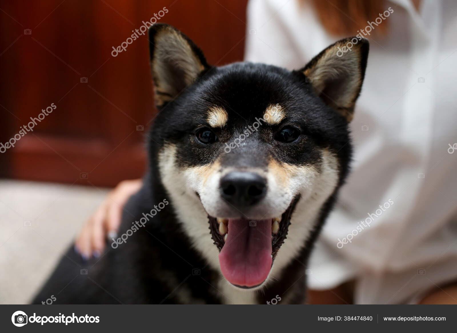 Doge Dog Stock Photos Royalty Free Doge Dog Images Depositphotos
