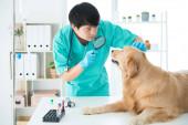 Tierärzte überprüfen den Gesundheitszustand des Golden Retrievers. Ein Tierarzt mit Stethoskop am Hals trägt einen Golden Retriever-Hund. Augenuntersuchung.