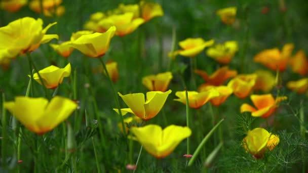 Žlutá Kalifornie mák kvetoucí v zahradě