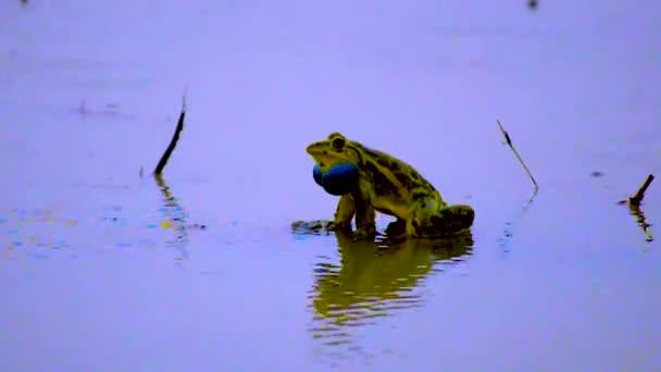 Ein Ochsenfrosch krächzt während der Regenzeit