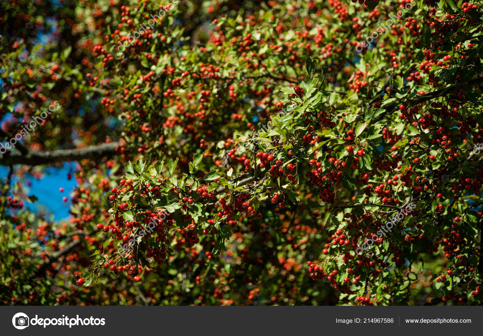 Pictures Hawthorn Trees Red Berries Hawthorn Tree Autumn Forest