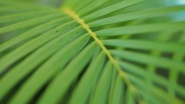 Palmblatt und Felgenlicht. Schwenk durch Palmblätter bei Sonnenaufgang.