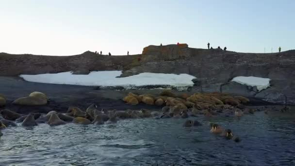Walruses and people environmentalists on shores of Arctic Ocean aero view 4k.