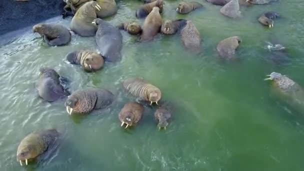 Walruses on shores of Arctic Ocean aero view on New Earth Vaigach Island.