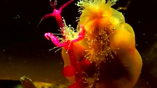 Lucernaria quadricornis fängt und frisst Caprella unter Wasser im weißen Meer