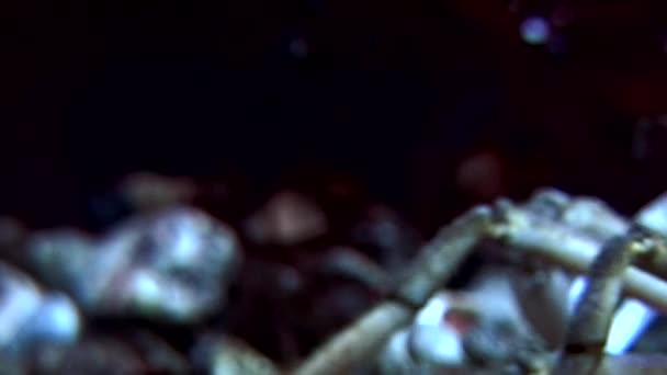 Crab hios underwater in search of food on seabed of White Sea Russia.