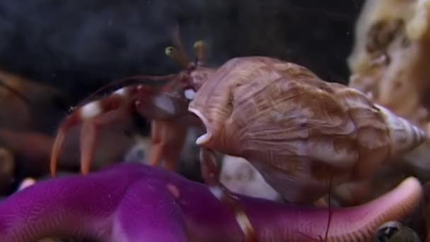 Cancer hermit and starfish underwater in search of food on seabed of White Sea.