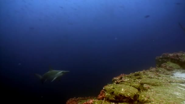 Hammerhead shark shoal hal víz alatti lagúna az óceán Galapagos.