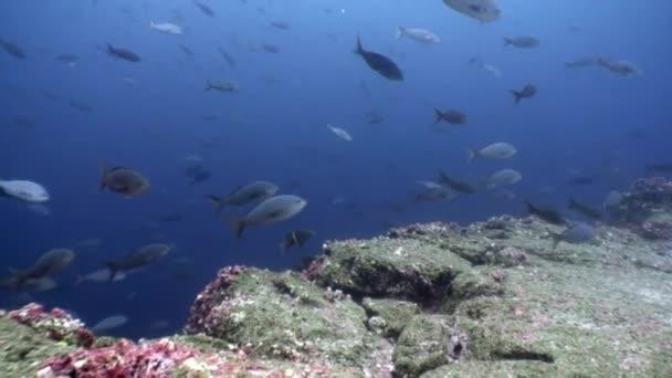Fish shoal underwater lagoon of ocean on Galapagos.