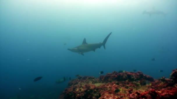 Hammerhead shark in shoal fish underwater lagoon of ocean Galapagos.