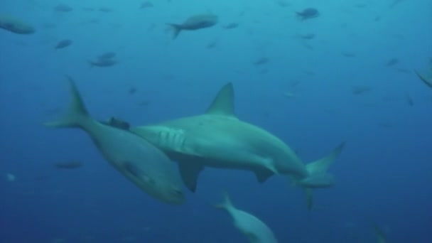 Hammerhead shark in shoal fish underwater lagoon of ocean Galapagos.