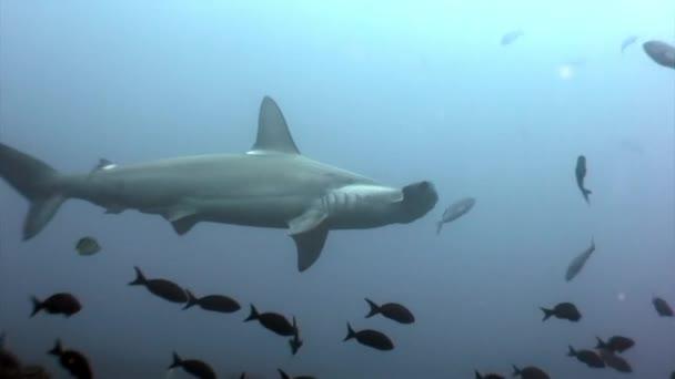 Hammerhai in Fischschwärmen in Unterwasserlagune von Ozean-Galapagos.