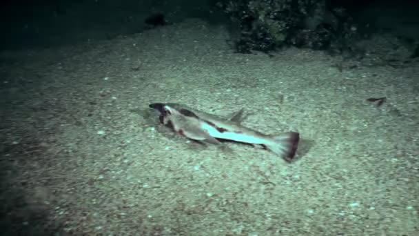 Fish pipistrelle Ogcocephalus Darwini bat underwater on seabed of ocean.