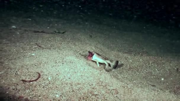 Fish pipistrelle Ogcocephalus Darwini underwater on seabed of ocean Galapagos.