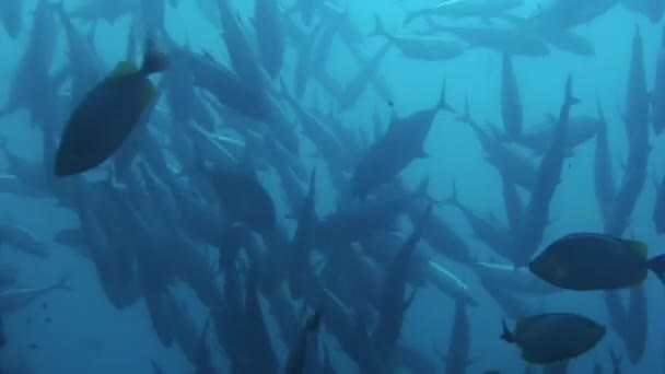 Tuna Fish shoal on a blue background of water in ocean on Galapagos.