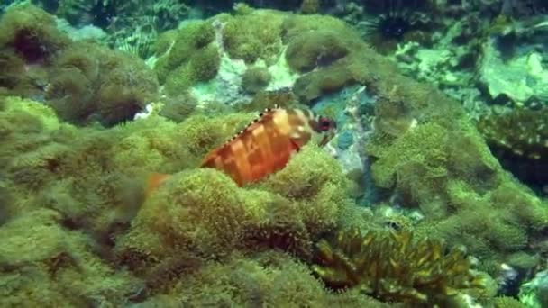 Orange tropical exotic fish on background of sea bottom in ocean on Galapagos.